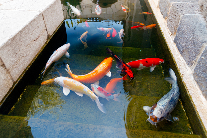 Koi ponds aqualogic for Perfect koi